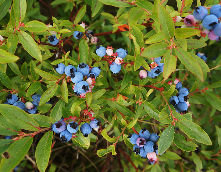 wild-blueberries